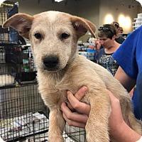 Adopt A Pet :: Brodie - Fresno, CA