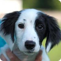 Adopt A Pet :: Amos - Brattleboro, VT