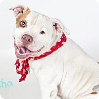 Adopt A Pet :: *ASHA - Sacramento, CA