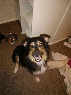 Australian Cattle Dog Dog for adoption in Phoenix, Arizona - Allianna