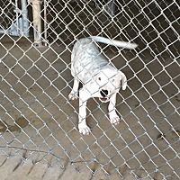 Dalmatian/Pointer Mix Puppy for adoption in The Village, Oklahoma - Spots