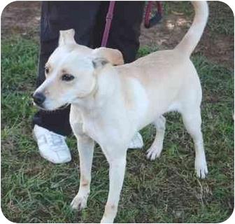 Golden Retriever/Labrador Retriever Mix Dog for adoption in kennebunkport, Maine - Murphy-IN MAINE