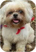 Maltese/Shih Tzu Mix Dog for adoption in PRINCETON, New Jersey - Blondie