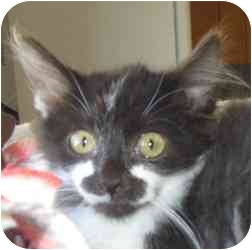 Domestic Longhair Kitten for adoption in Des Moines, Iowa - Avett