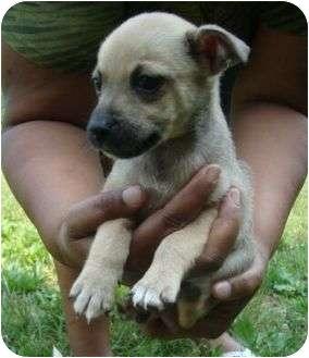 Cairn Terrier/Chihuahua Mix Puppy for adoption in Harrisonburg, Virginia - Simon