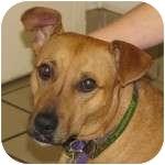 Labrador Retriever Mix Dog for adoption in Eatontown, New Jersey - Diamond