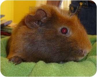 Guinea Pig for adoption in Phoenix, Arizona - Julia