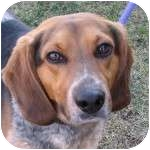 Beagle Mix Dog for adoption in Eatontown, New Jersey - Kraft