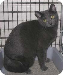 Domestic Shorthair Cat for adoption in Ocean City, New Jersey - Snagglepuss
