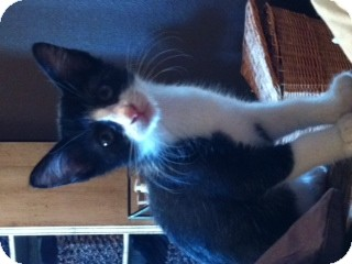 Domestic Shorthair Kitten for adoption in Weatherford, Texas - Panda