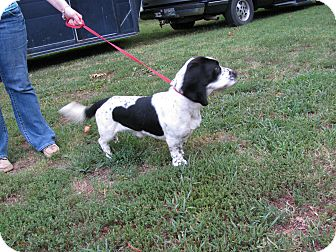 Basset Hound Dog for adoption in Bedminster, New Jersey - Wrigley