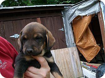 Labrador Retriever/Doberman Pinscher Mix Puppy for adoption in Brooklyn, New York - MOUNDS of puppy love!