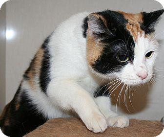 Domestic Shorthair Cat for adoption in Edmonton, Alberta - Wish