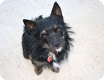 Cairn Terrier/Yorkie, Yorkshire Terrier Mix Dog for adoption in Los Angeles, California - Wainwright - I do not shed!