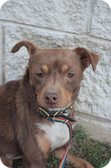 Chihuahua/Miniature Pinscher Mix Dog for adoption in Stilwell, Oklahoma - Rico