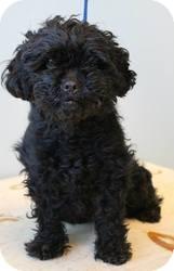 Poodle (Miniature)/Cocker Spaniel Mix Dog for adoption in Shawnee Mission, Kansas - Sassafras