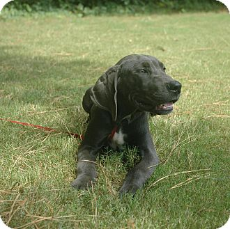 Great Dane Puppy for adoption in Lawrenceville, Georgia - Blue