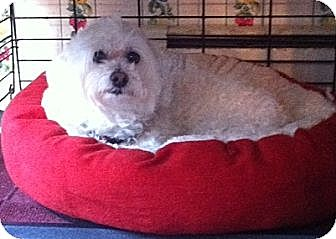 Maltese/Poodle (Miniature) Mix Dog for adoption in Wrightsville, Pennsylvania - Tucker/Treager