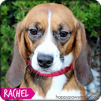 Beagle Dog for adoption in South Plainfield, New Jersey - Rachel