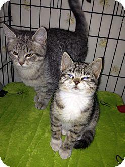 Domestic Shorthair Kitten for adoption in Brooklyn, New York - Precious and Gem