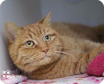 Domestic Shorthair Cat for adoption in Merrifield, Virginia - Trina