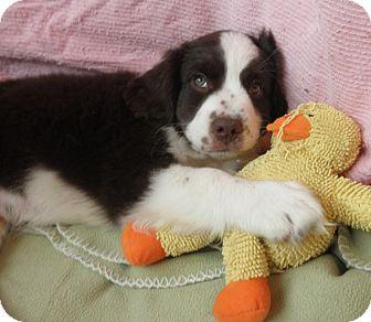 Hound (Unknown Type)/Beagle Mix Puppy for adoption in Highland Park, New Jersey - BUCK EYE