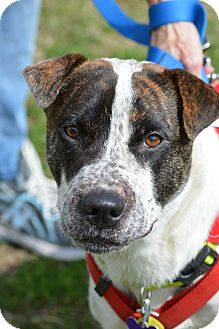 Boxer Mix Dog for adoption in Wimberley, Texas - MayBelle