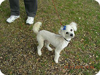 Poodle (Miniature) Mix Dog for adoption in Morgan Hill, California - Minimus Poodlus