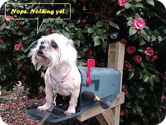 Shih Tzu Dog for adoption in Decatur, Georgia - Speedy