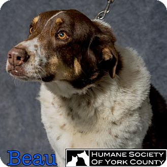 Cattle Dog Dog for adoption in Fort Mill, South Carolina - Beau