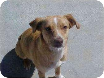 Terrier (Unknown Type, Small)/Australian Shepherd Mix Dog for adoption in Burnsville, North Carolina - Lolita