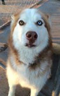 Siberian Husky Dog for adoption in Cedar Crest, New Mexico - Ozzie