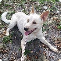 Adopt A Pet :: Dingo - Gainesville, FL