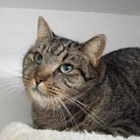 Domestic Shorthair Cat for adoption in Raleigh, North Carolina - Shoshanna