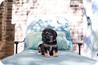 Hound (Unknown Type) Mix Puppy for adoption in Hartford, Connecticut - Aurora