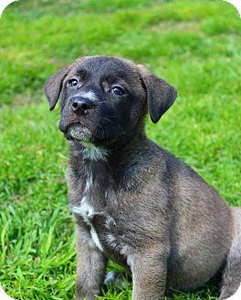 Great Pyrenees/Labrador Retriever Mix Puppy for adoption in Shreveport, Louisiana - Maisy