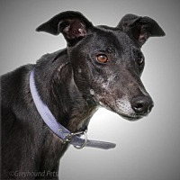 Greyhound Dog for adoption in Woodinville, Washington - Mike