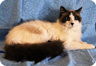 Ragdoll Cat for adoption in Greensboro, North Carolina - Sergio