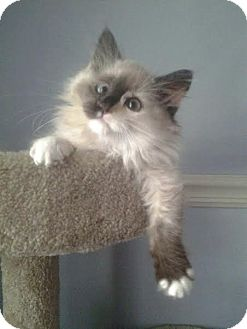 Siamese Kitten for adoption in China, Michigan - Princess Poppy