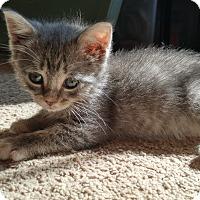 Adopt A Pet :: Sweet Dee - Morristown, NJ