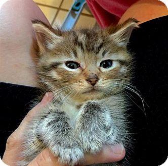 Domestic Mediumhair Kitten for adoption in Flint HIll, Virginia - SILVIE