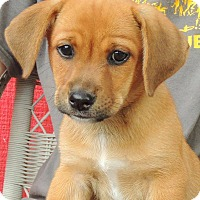 Adopt A Pet :: Andre - Joplin, MO