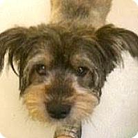 Adopt A Pet :: Ziggy-ADOPTION PENDING - Boulder, CO