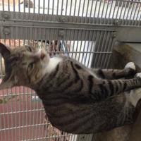 Adopt A Pet :: LEON - St. Thomas, VI