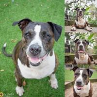 Adopt A Pet :: Precious - Clearwater, FL