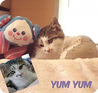 Domestic Shorthair Kitten for adoption in Harrisville, West Virginia - Yum Yum
