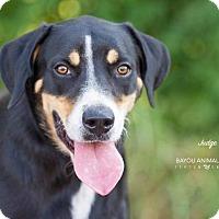 Adopt A Pet :: Judge - Dickinson, TX