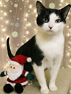 Domestic Shorthair Cat for adoption in McDonough, Georgia - Pixel