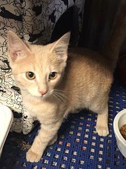 Domestic Shorthair Kitten for adoption in Sullivan, Missouri - Sunshine