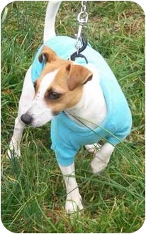 Fox Terrier (Smooth) Dog for adoption in Gallatin, Tennessee - Zack